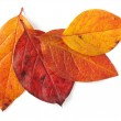 Autumnal leaves — Stock Photo
