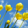 Yellow tulips — Foto Stock