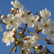 Stock Photo: Blooming cherry tree
