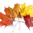 Stock Photo: Colorful maple leaves