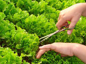 Cropping lettuce — Stock Photo
