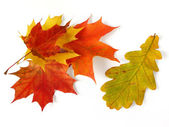 Oak and maple leaves — Stock Photo