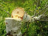 Felled birch — Stock Photo