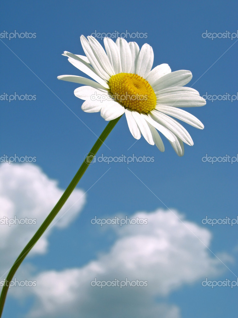 Wild daisy against blue sky with light clouds                                — Stock Photo #1092603