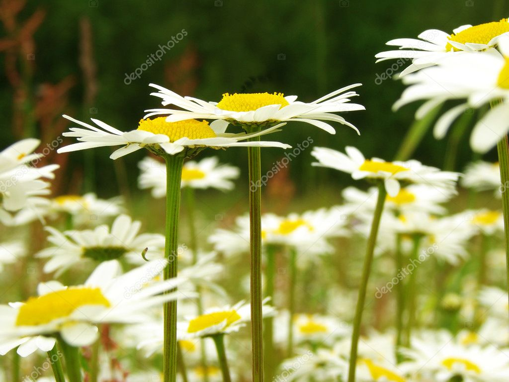 Daisies couple at the daisies meadow                                — Stock Photo #1092760
