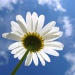 White daisy — Stock Photo #1100250
