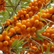 Sea buckthorn berries — Stock Photo #1111007