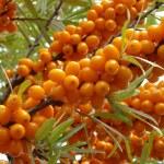 Sea buckthorn berries — Stock Photo