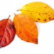 Three autumnal leaves — Stock Photo