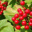 Red viburnum berries — Photo