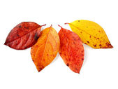 Four autumnal leaves — Stock Photo