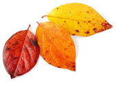 Three autumnal leaves — Stock Photo