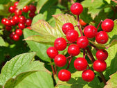 Red viburnum berries — 图库照片