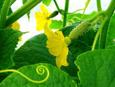Growing cucumber — Stock Photo
