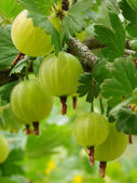 Ripening gooseberries — Stock Photo