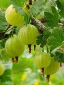 Ripening gooseberries — Stock Photo