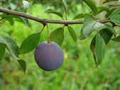 Ripening plum — Stock Photo