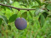 Ripening plum — Stock Photo