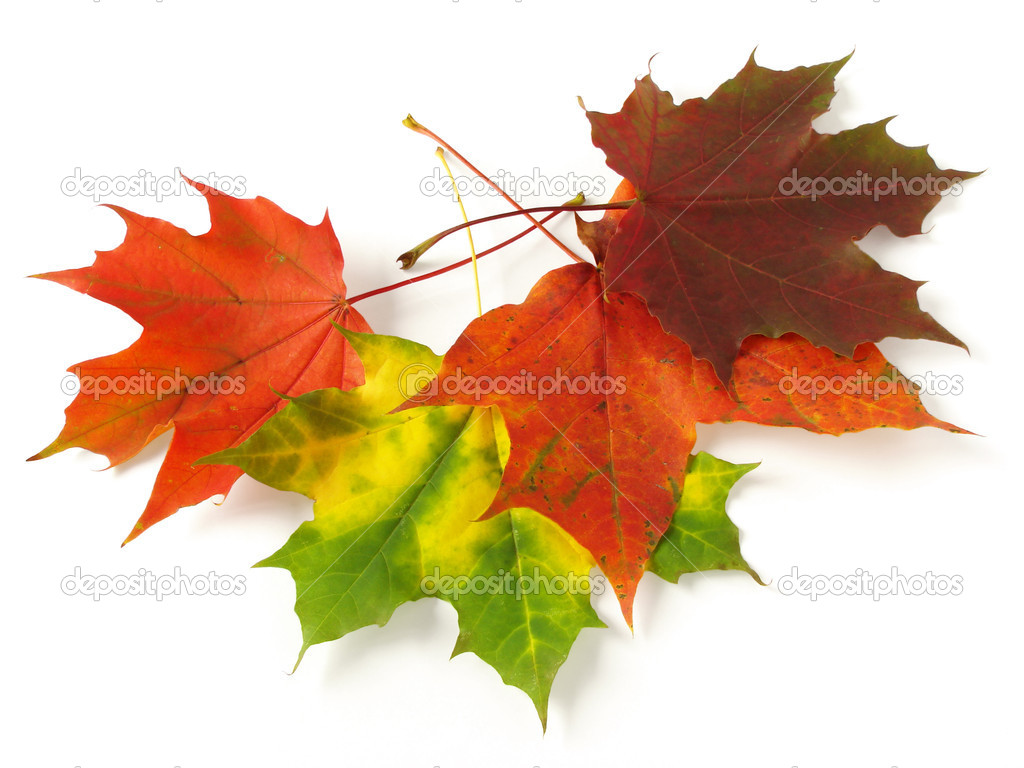 Bright autumnal maple leaves on white                                 Stock Photo #1333963