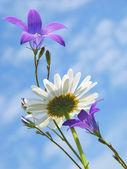 Daisy and bluebells — Stock Photo