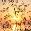 Stock Photo: sunrice