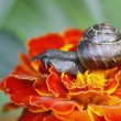 Snail macro — Stock Photo