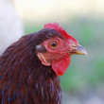 Chicken — Stock Photo #1187270