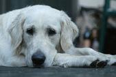 Portrait of dog — Stock Photo