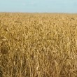 Stock Photo: Field of grain