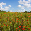 Field of red poppies — Stock Photo #1083829