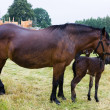 Stock Photo: Horse and foal rainy day