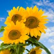 Sunflower on a blue sky — Stock fotografie