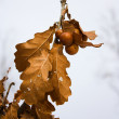 Yellow oak leaves, autumn - Stock Photo