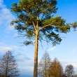 Lone pine tree near the lake, autumn - Stock Photo