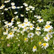 Stock Photo: Daisies, meadow