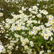 Royalty-Free Stock Photo: Daisies background