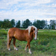 Brown horse on the meadow - Stock Photo