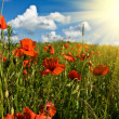 Field of red poppies — Stock Photo #1088252