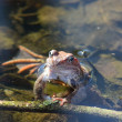 Frog in water — Stock Photo #1088270