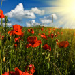 Stock Photo: Field of red poppies