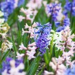 Stock Photo: Hyacinth flowers
