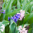 Hyacinth flowers — Stock Photo #1089177