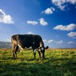 Cow on meadow — Stock Photo #1089195
