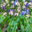 Hyacinth flowers — Stock Photo #1089200
