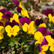 Flowers pansies — Stock Photo