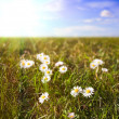 Stock Photo: Daisies in a field