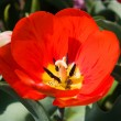 Red tulip, macro — Stock Photo