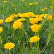 Stock Photo: Dandelion macro