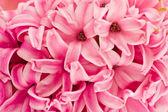 Hyacinthus kwiaty, tło — Zdjęcie stockowe