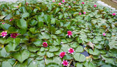 Water lily, achtergrond — Stockfoto
